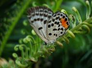 Asisbiz Philippines Mindoro Tabinay Red Pierrot butterfly Talicada nyseus 03