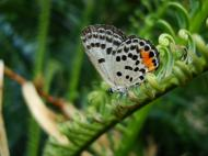 Asisbiz Philippines Mindoro Tabinay Red Pierrot butterfly Talicada nyseus 04