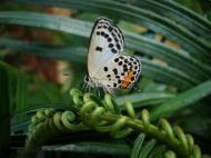Asisbiz Philippines Mindoro Tabinay Red Pierrot butterfly Talicada nyseus 07