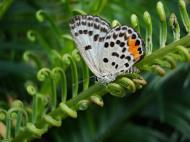 Asisbiz Philippines Mindoro Tabinay Red Pierrot butterfly Talicada nyseus 08