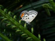 Asisbiz Philippines Mindoro Tabinay Red Pierrot butterfly Talicada nyseus 09
