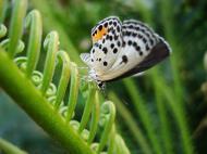 Asisbiz Philippines Mindoro Tabinay Red Pierrot butterfly Talicada nyseus 10