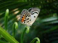 Asisbiz Philippines Mindoro Tabinay Red Pierrot butterfly Talicada nyseus 11