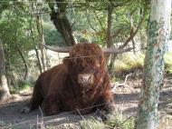 Asisbiz Danishl livestock cattle Bornholm Denmark 01