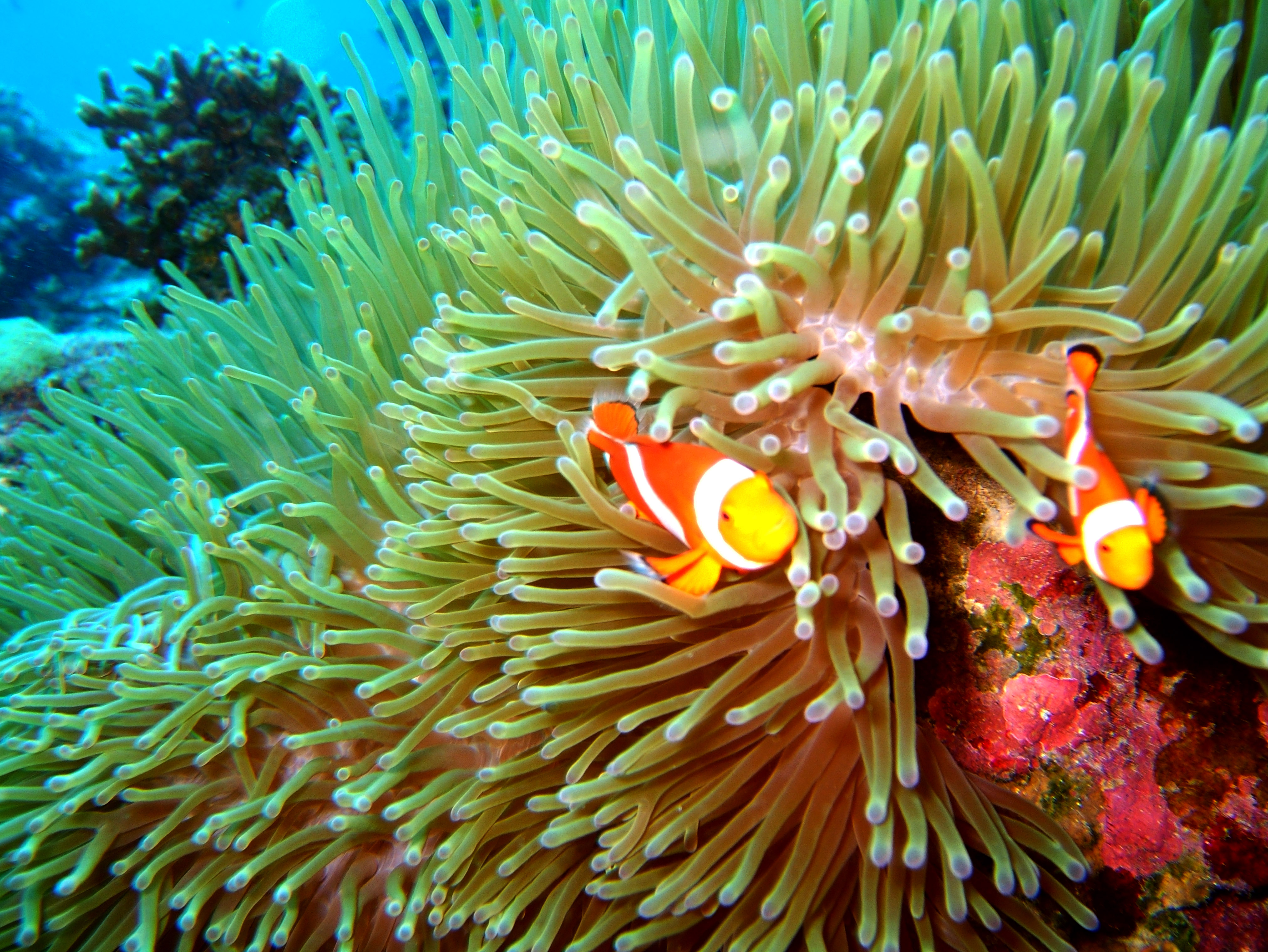 Philippines Cebu Bohol Balicasag Island Rudys rock dive Dec 2005 21