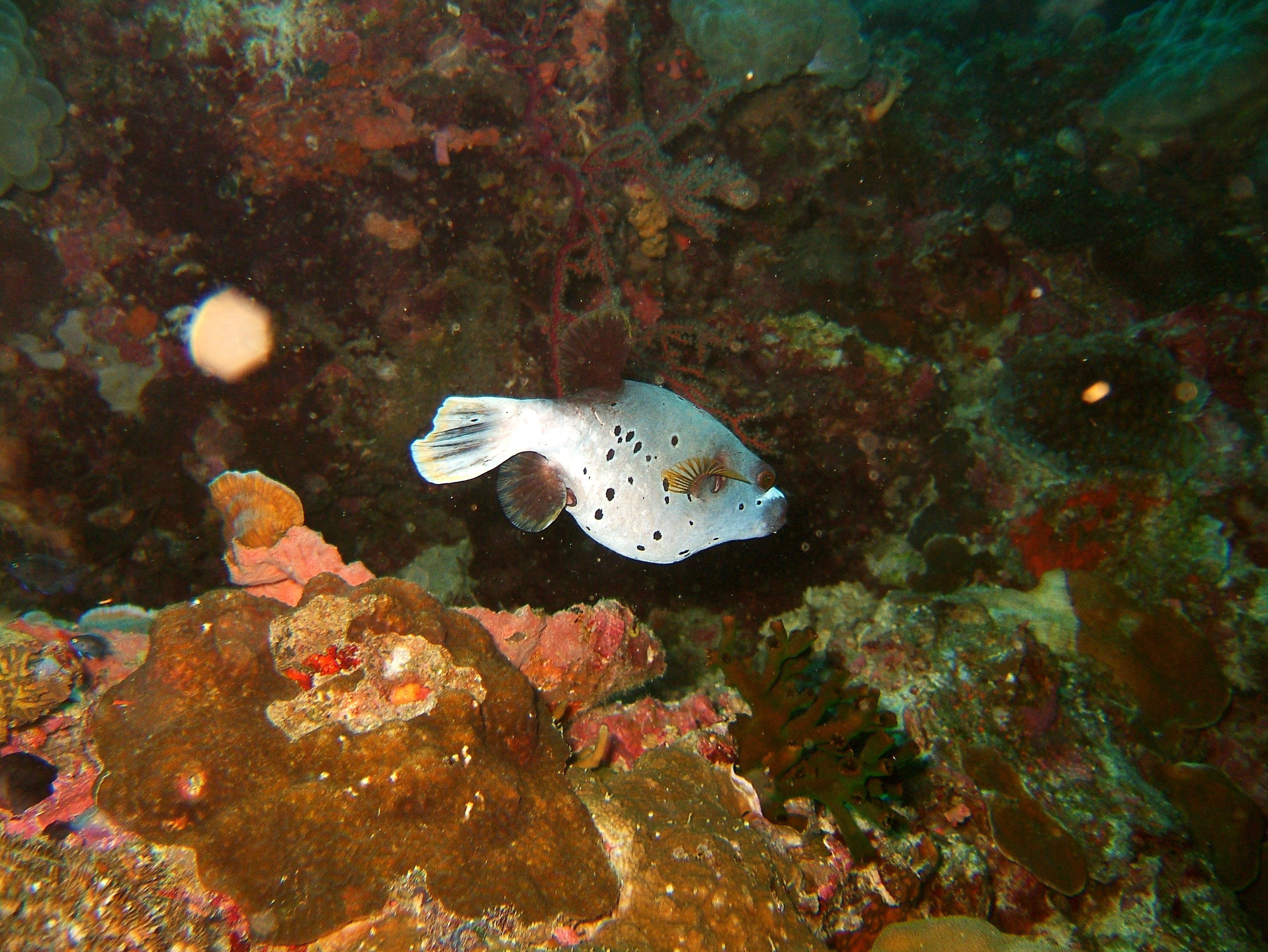 Philippines Cebu Moal Boal 20051226 Dive 1 Kasai Point 21