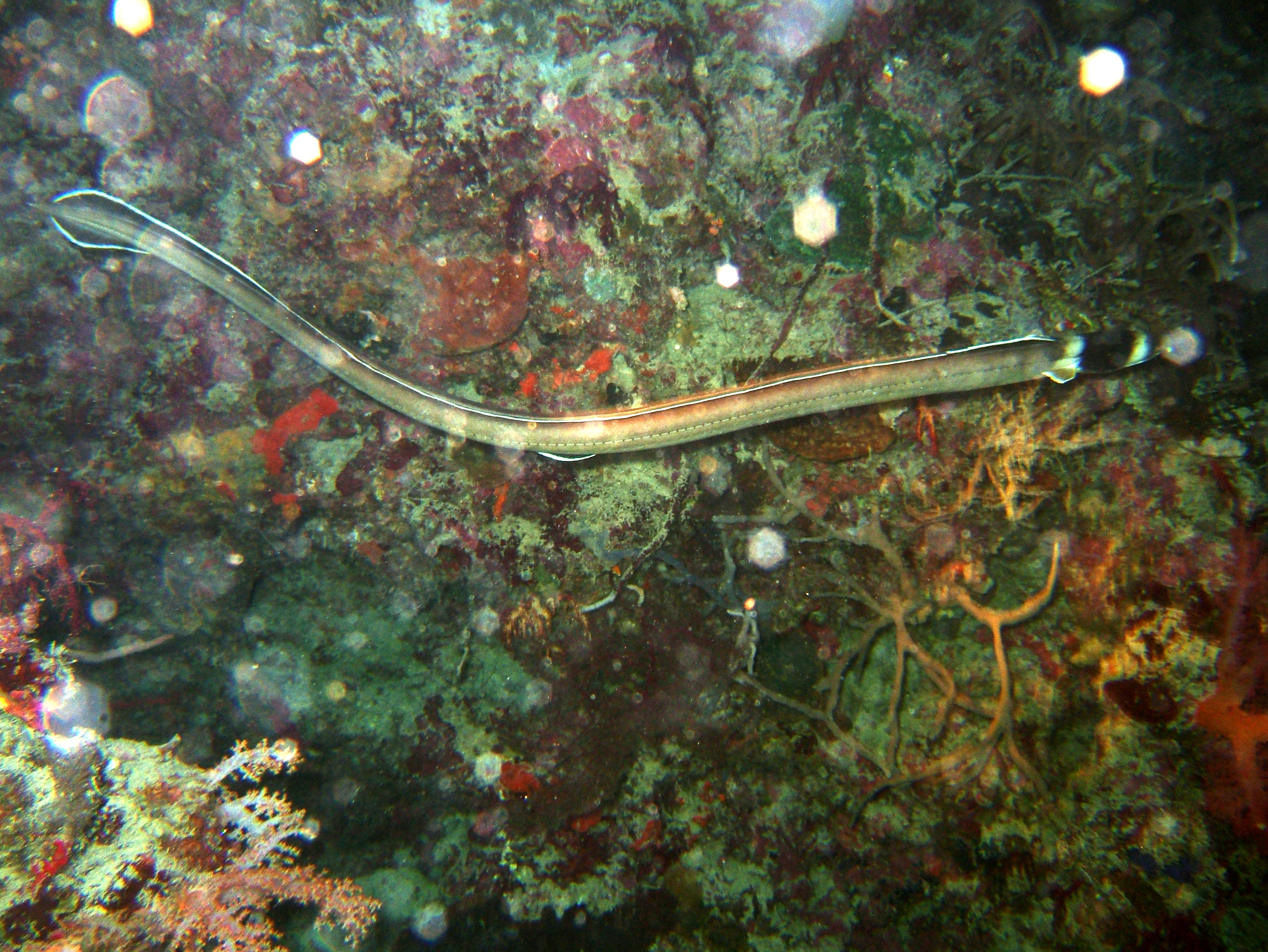 Philippines Cebu Moal Boal 20051226 Dive 2 Talisay Point Night Dive 02