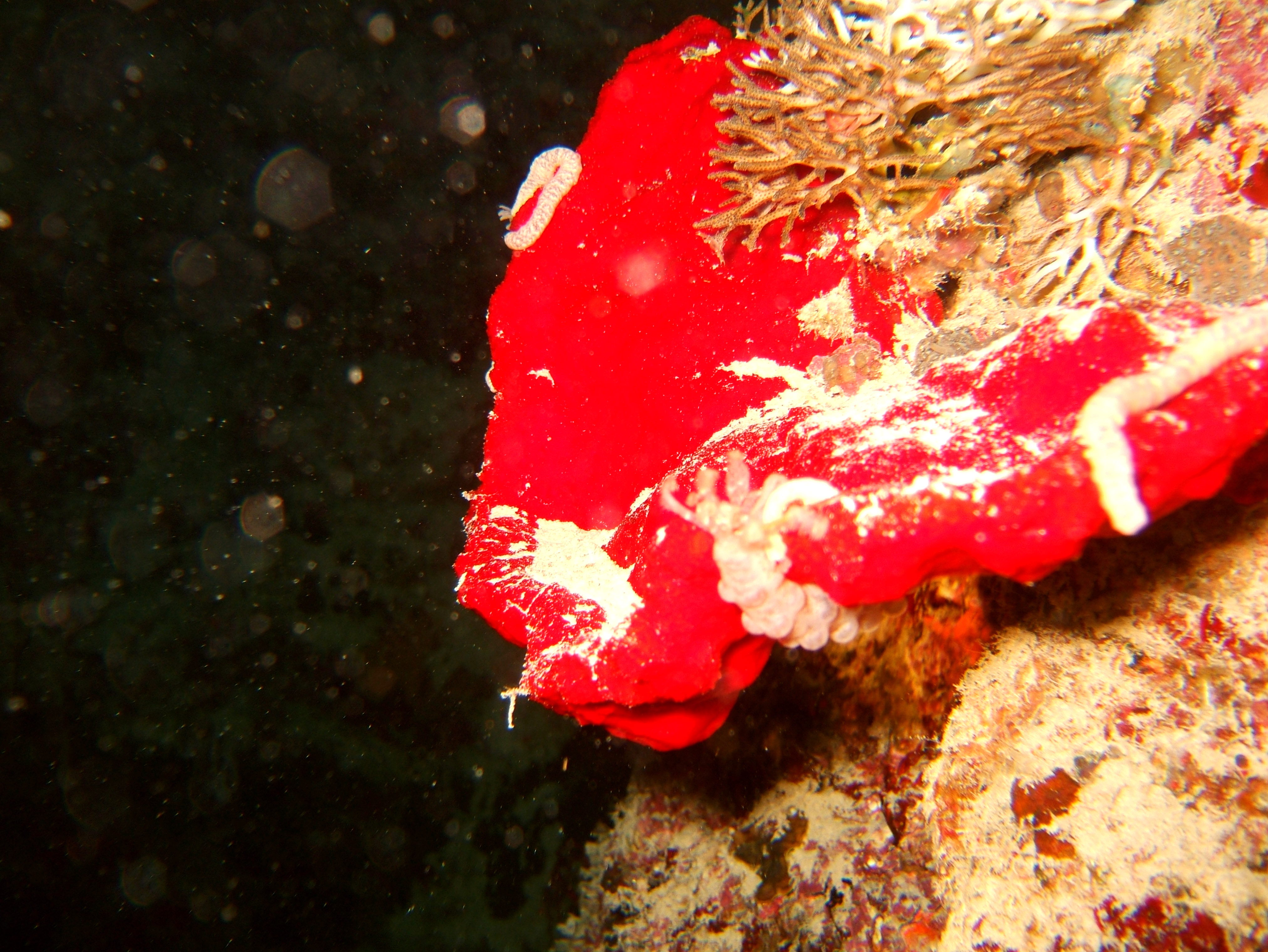 Philippines Cebu Moal Boal 20051226 Dive 2 Talisay Point Night Dive 05