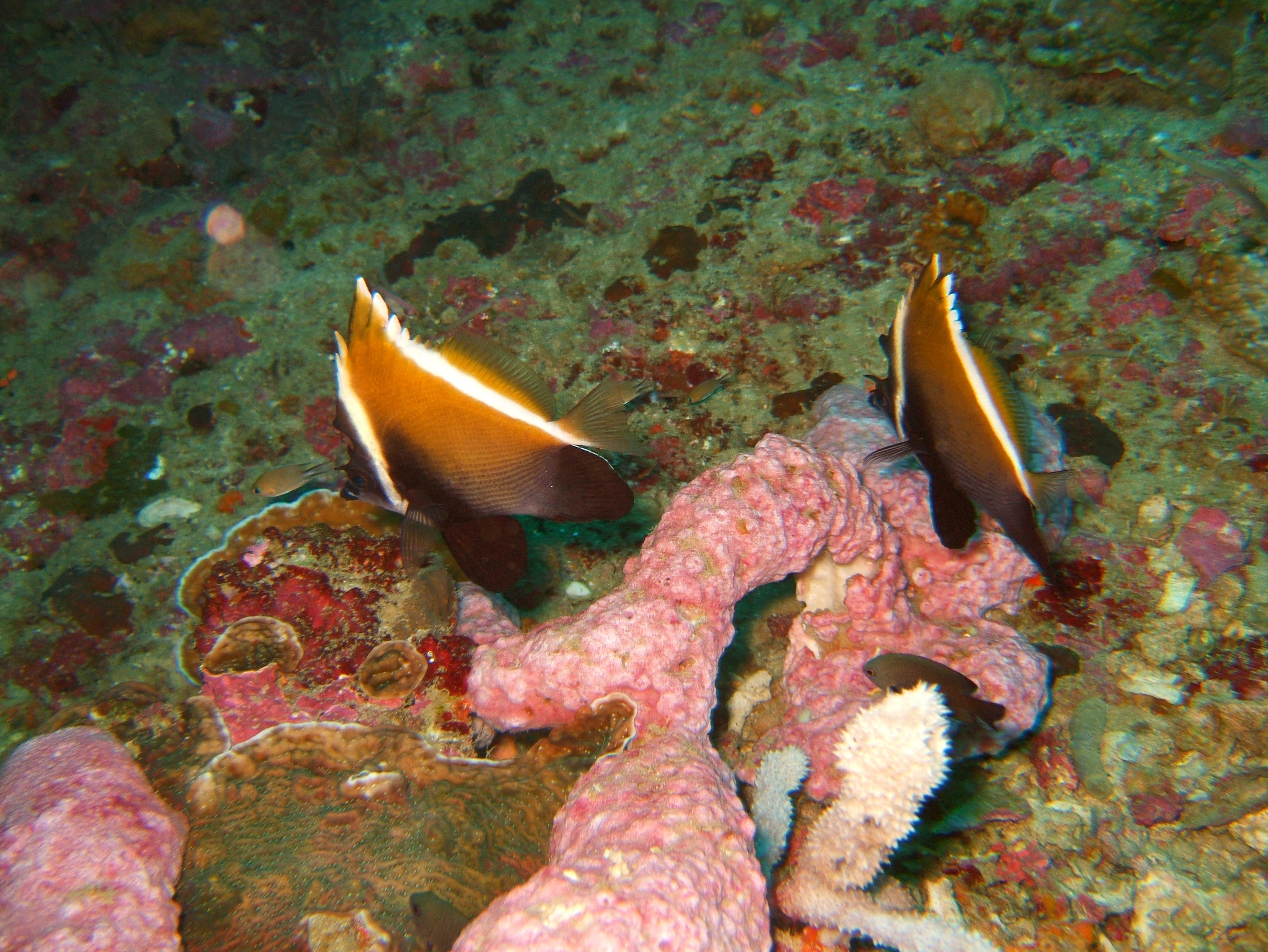 Philippines Cebu Moal Boal 20051227 Dive 1 Pescador Island 50