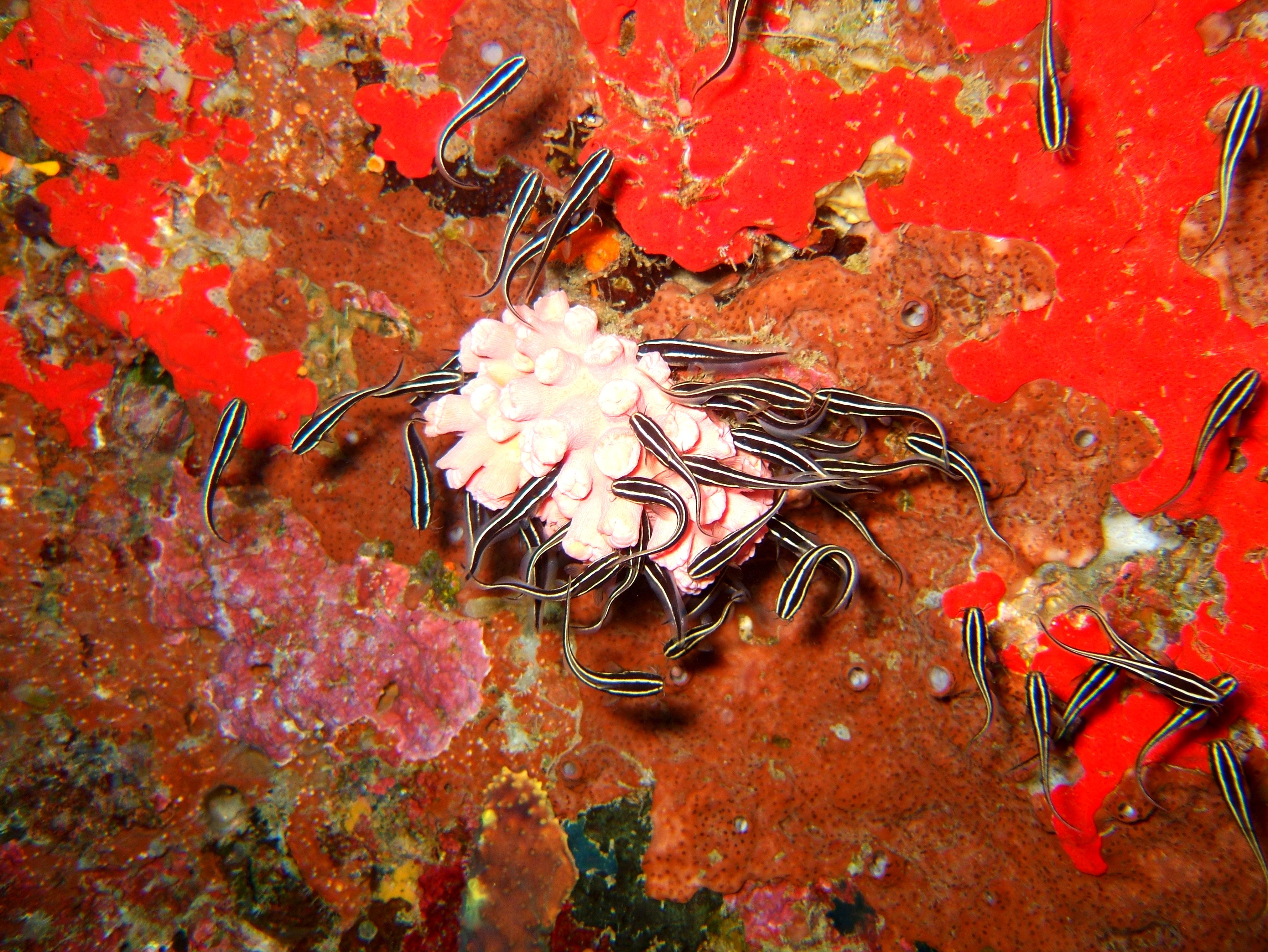 Philippines Cebu Moal Boal 20051227 Dive 1 Pescador Island 60