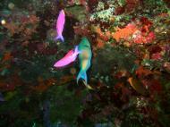 Asisbiz Philippines Cebu Moal Boal 20051227 Dive 1 Pescador Island 21