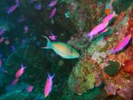 Asisbiz Philippines Cebu Moal Boal 20051227 Dive 1 Pescador Island 22