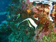 Asisbiz Philippines Cebu Moal Boal 20051227 Dive 1 Pescador Island 26