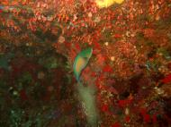 Asisbiz Philippines Cebu Moal Boal 20051227 Dive 1 Pescador Island 27