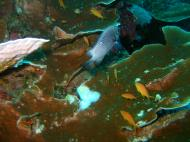 Asisbiz Philippines Cebu Moal Boal 20051227 Dive 1 Pescador Island 42