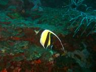 Asisbiz Philippines Cebu Moal Boal 20051227 Dive 1 Pescador Island 51