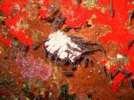 Asisbiz Philippines Cebu Moal Boal 20051227 Dive 1 Pescador Island 60