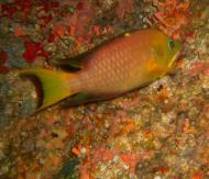 Asisbiz Philippines Cebu Moal Boal 20051228 Dive 1 Pescador Island 02