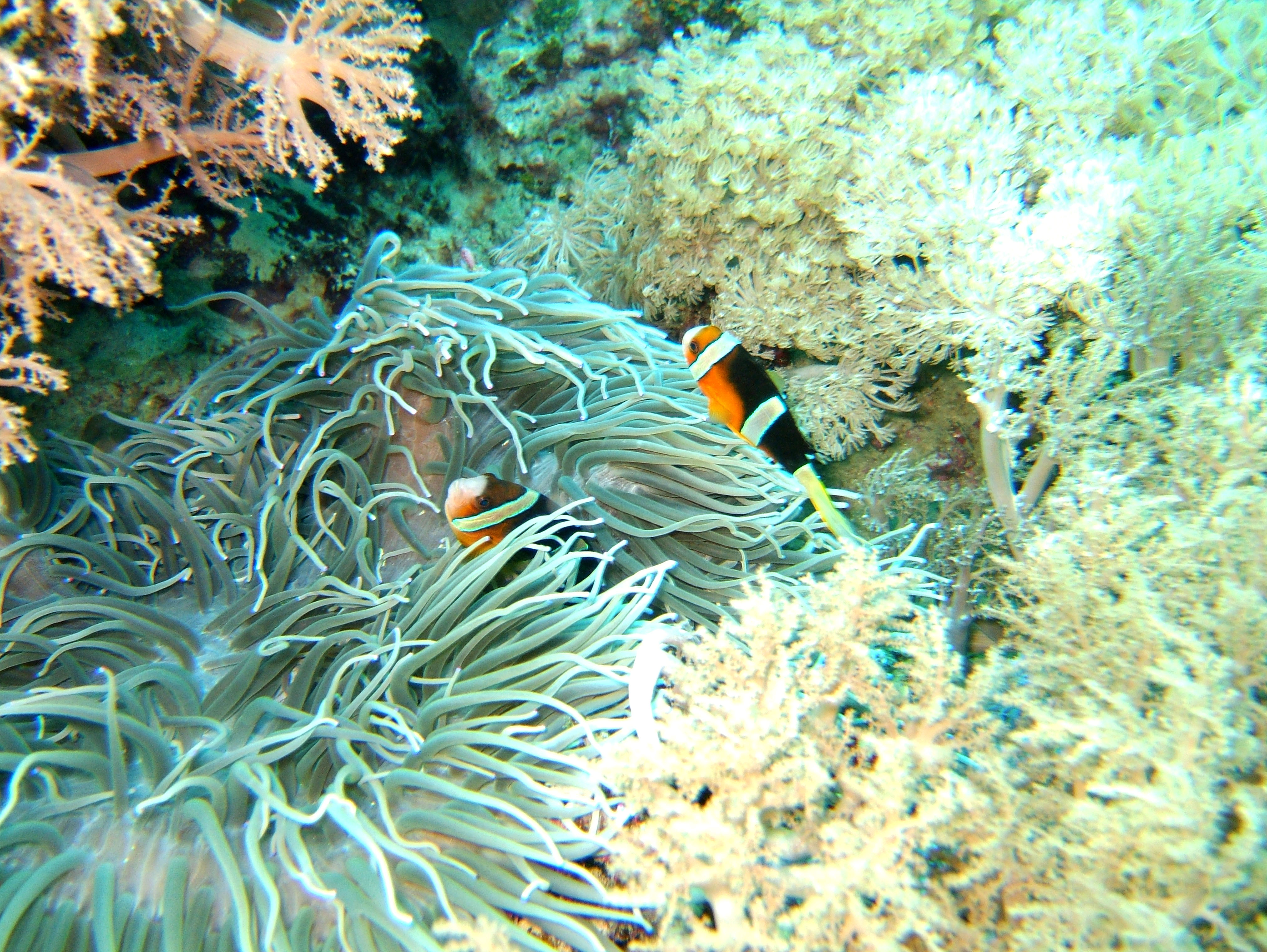 Dive 15 Philippines Mindoro Sabang West Escarceo Nov 2005 17