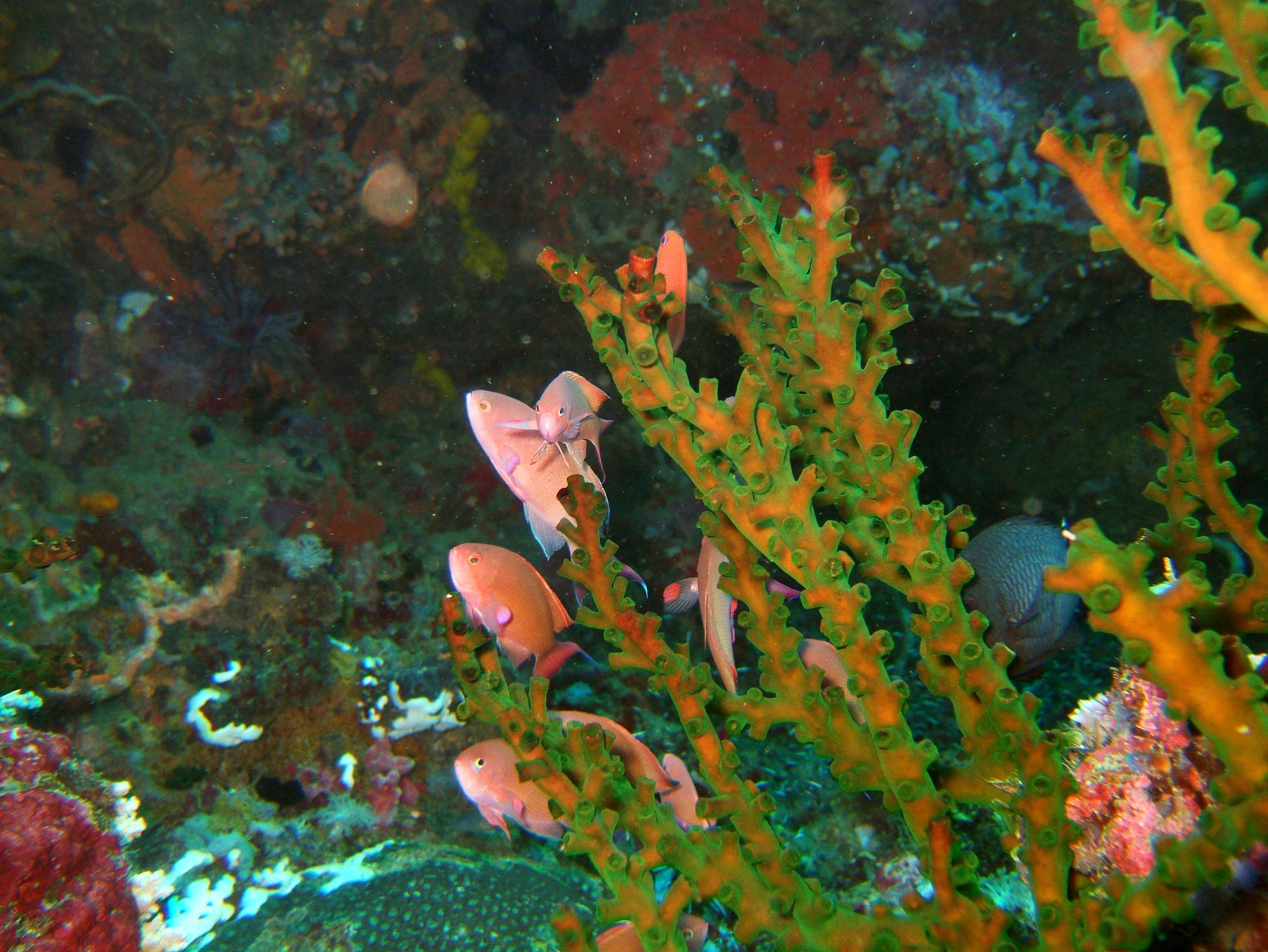Dive 15 Philippines Mindoro Sabang West Escarceo Nov 2005 20