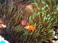 Asisbiz Dive 15 Philippines Mindoro Sabang West Escarceo Nov 2005 10