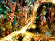 Asisbiz Dive 15 Philippines Mindoro Sabang West Escarceo Nov 2005 13