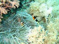 Asisbiz Dive 15 Philippines Mindoro Sabang West Escarceo Nov 2005 17