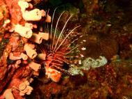 Asisbiz Dive 15 Philippines Mindoro Sabang West Escarceo Nov 2005 25
