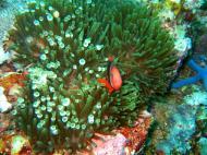 Asisbiz Dive 15 Philippines Mindoro Sabang West Escarceo Nov 2005 26