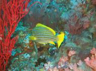 Asisbiz Dive 17 Philippines Mindoro Sabang Fish Bowl Oct 2005 07