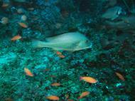 Asisbiz Dive 17 Philippines Mindoro Sabang Fish Bowl Oct 2005 18