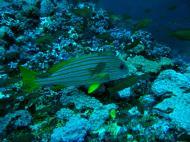 Asisbiz Dive 18 Philippines Mindoro Sabang Canyons July 2005 05