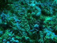 Asisbiz Dive 18 Philippines Mindoro Sabang Canyons July 2005 16