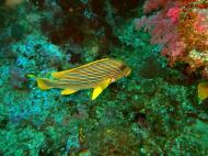 Asisbiz Dive 18 Philippines Mindoro Sabang Canyons Nov 2005 05