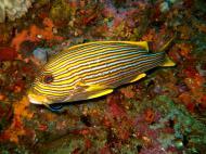 Asisbiz Dive 18 Philippines Mindoro Sabang Canyons Nov 2005 10