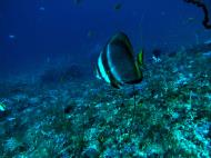 Asisbiz Dive 19 Philippines Mindoro Sabang Horsehead July 2005 01