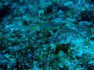 Asisbiz Dive 19 Philippines Mindoro Sabang Horsehead July 2005 02
