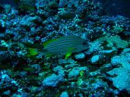 Asisbiz Dive 19 Philippines Mindoro Sabang Horsehead July 2005 03