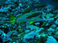 Asisbiz Dive 19 Philippines Mindoro Sabang Horsehead July 2005 04