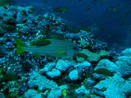 Asisbiz Dive 19 Philippines Mindoro Sabang Horsehead July 2005 06