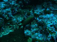 Asisbiz Dive 19 Philippines Mindoro Sabang Horsehead July 2005 13