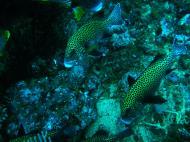 Asisbiz Dive 19 Philippines Mindoro Sabang Horsehead July 2005 14