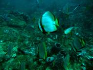 Asisbiz Dive 19 Philippines Mindoro Sabang Horsehead July 2005 21