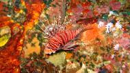 Asisbiz Dive 27 Philippines Mindoro Verdi Island Nov 2005 04