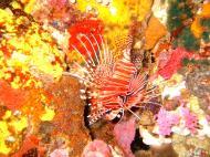 Asisbiz Dive 27 Philippines Mindoro Verdi Island Nov 2005 13