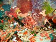 Asisbiz Dive 27 Philippines Mindoro Verdi Island Nov 2005 17