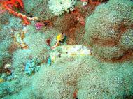Asisbiz Dive 27 Philippines Mindoro Verdi Island Nov 2005 55