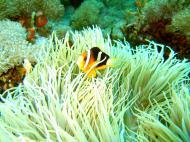 Asisbiz Dive 27 Philippines Mindoro Verdi Island Nov 2005 64
