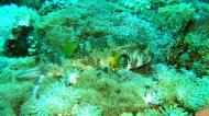 Asisbiz Dive 27 Philippines Mindoro Verdi Island Nov 2005 74