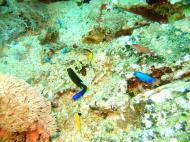 Asisbiz Dive 27 Philippines Mindoro Verdi Island Nov 2005 91
